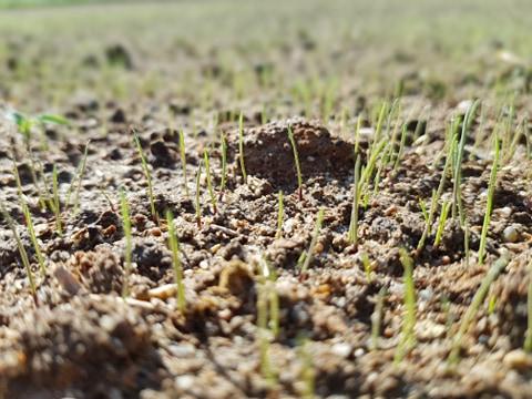 jak-dlugo-kielkuje-trawnik